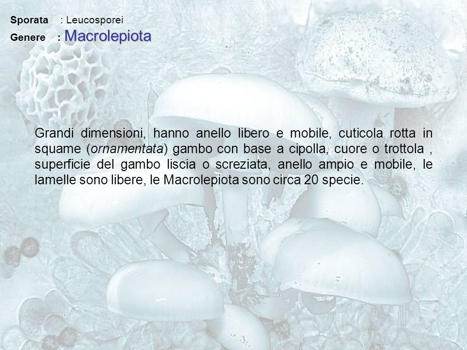 Sporata : Leucosporei Genere : Macrolepiota.