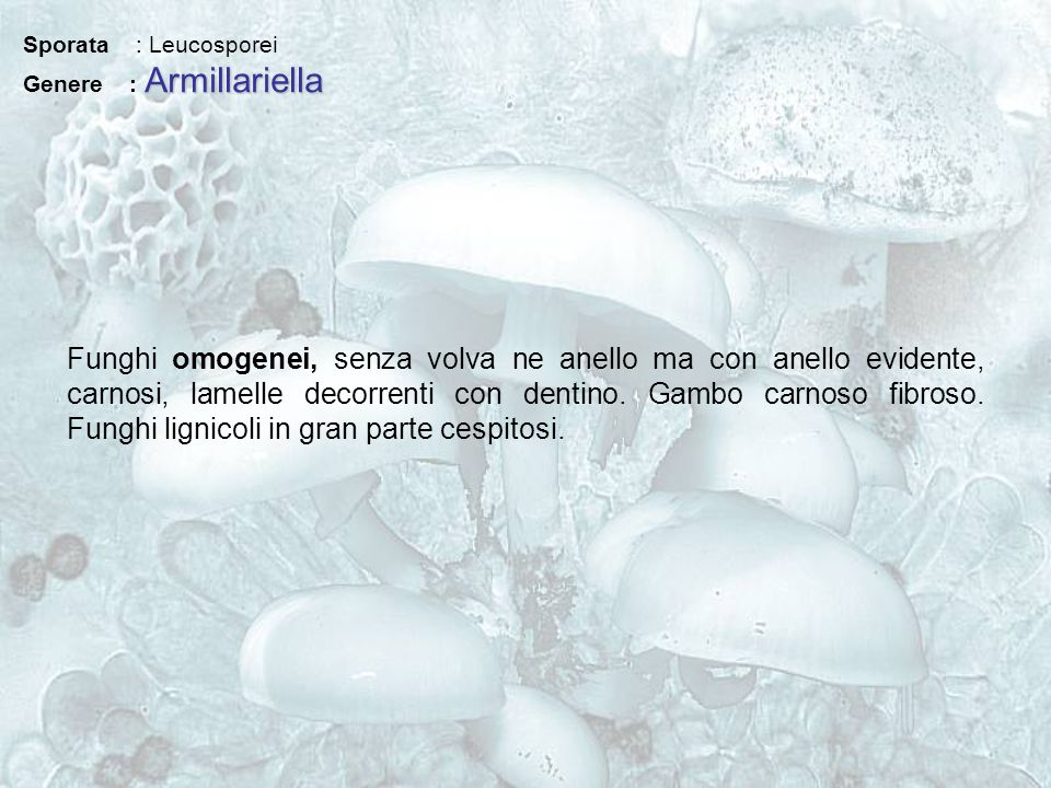 Sporata : Leucosporei Genere : Armillariella.