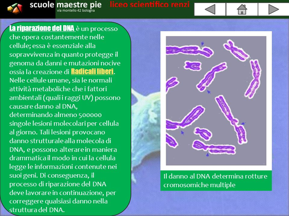 Il danno al DNA determina rotture cromosomiche multiple