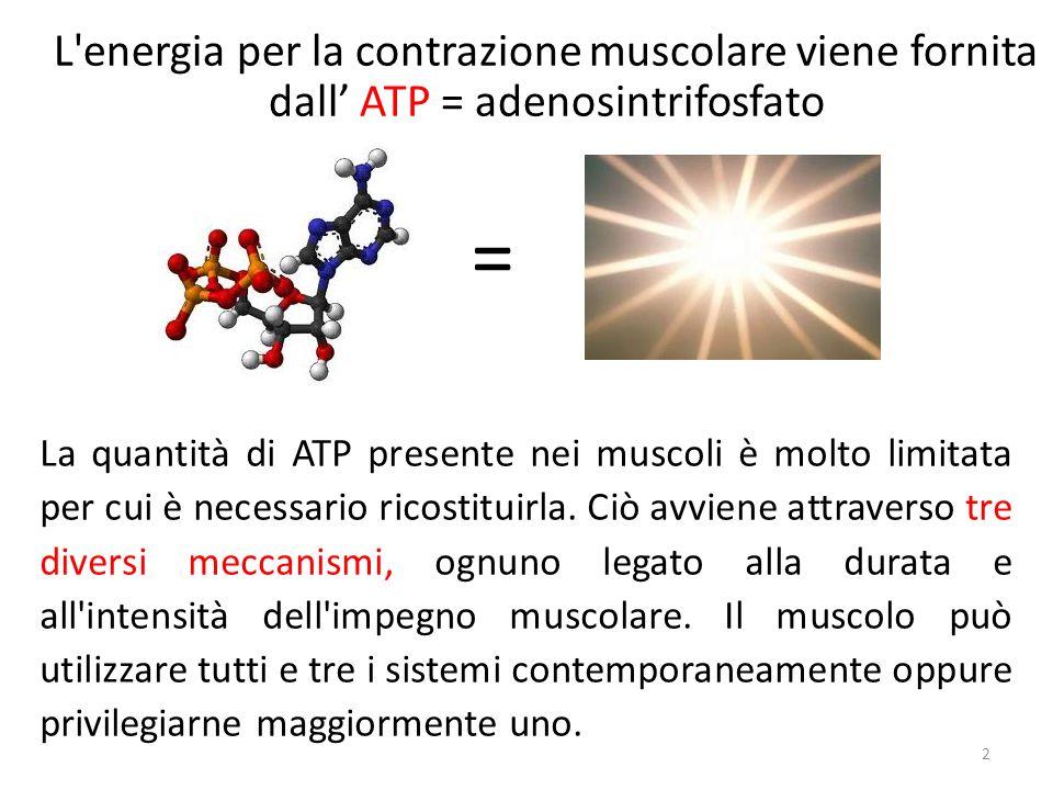 L energia per la contrazione muscolare viene fornita dall' ATP = adenosintrifosfato