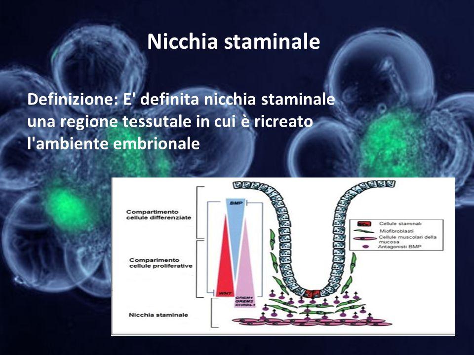 Nicchia staminale Definizione: E definita nicchia staminale una regione tessutale in cui è ricreato l ambiente embrionale.