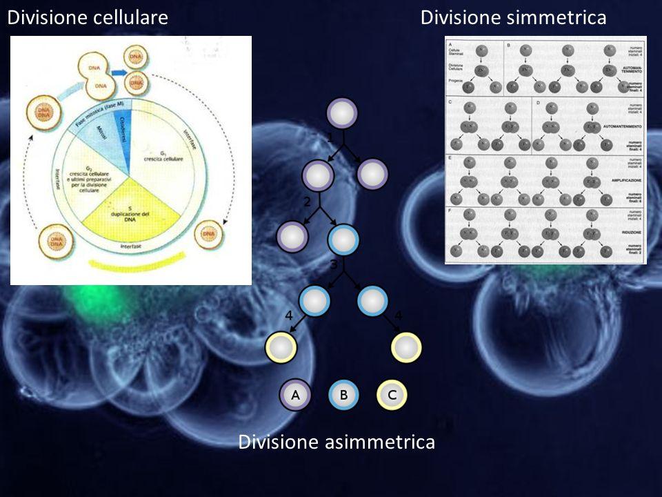 Divisione cellulare Divisione simmetrica Divisione asimmetrica