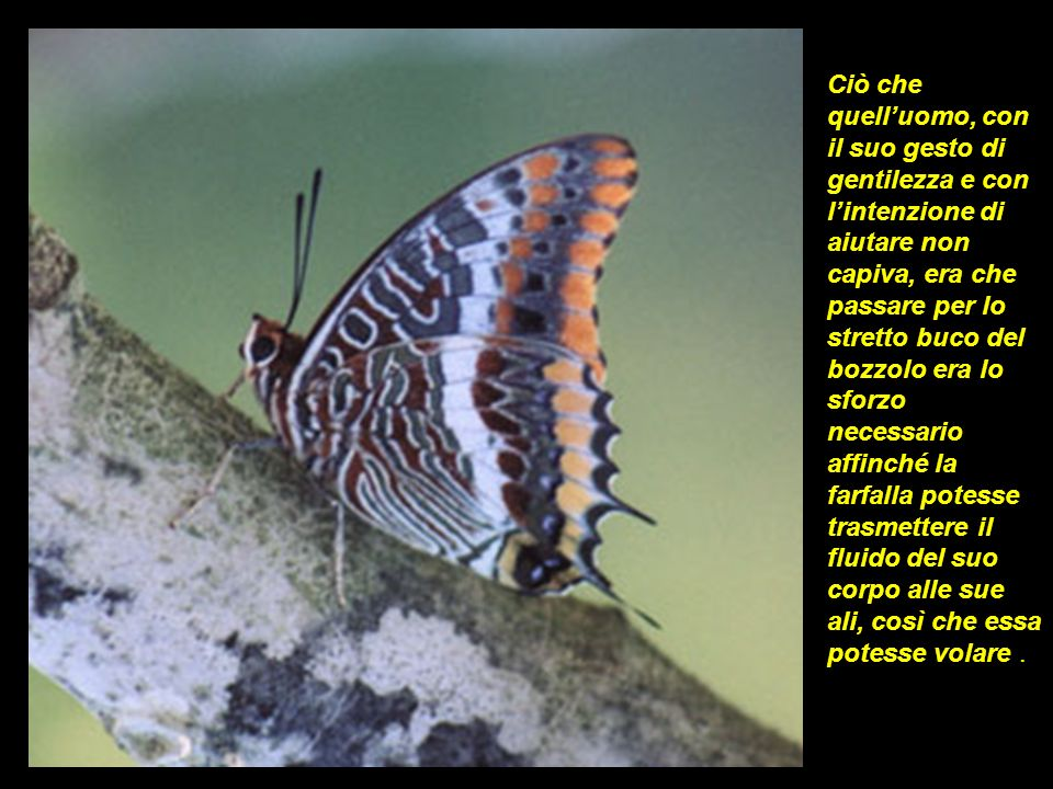 Ciò che quell'uomo, con il suo gesto di gentilezza e con l'intenzione di aiutare non capiva, era che passare per lo stretto buco del bozzolo era lo sforzo necessario affinché la farfalla potesse trasmettere il fluido del suo corpo alle sue ali, così che essa potesse volare .