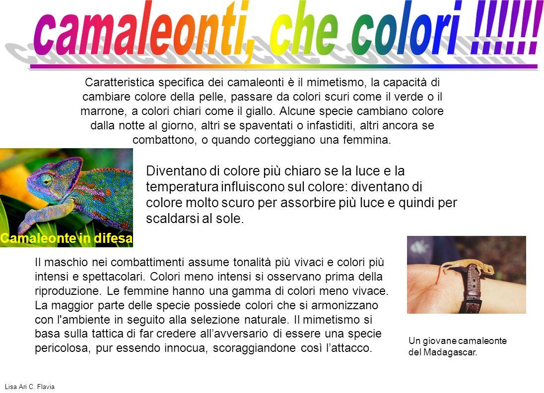 camaleonti, che colori !!!!!!