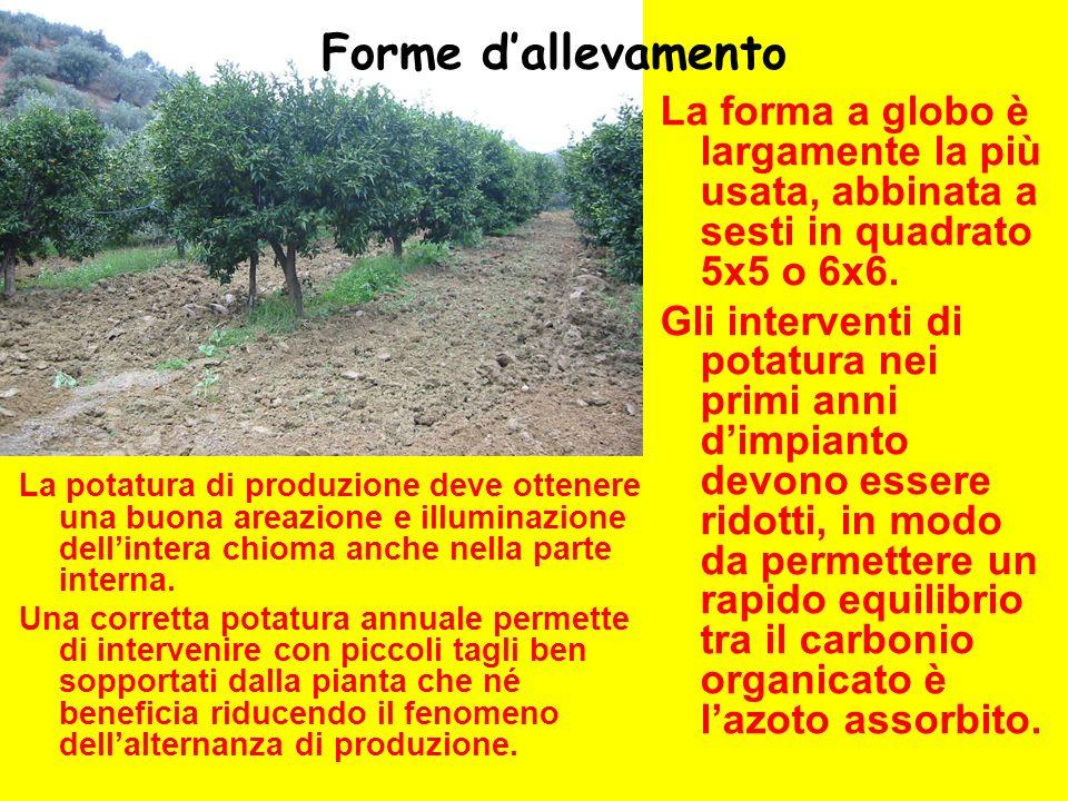 Forme d'allevamento La forma a globo è largamente la più usata, abbinata a sesti in quadrato 5x5 o 6x6.