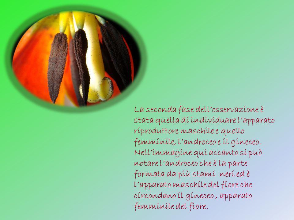 La seconda fase dell'osservazione è stata quella di individuare l'apparato riproduttore maschile e quello femminile, l'androceo e il gineceo.