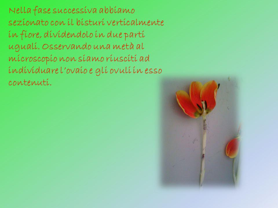 Nella fase successiva abbiamo sezionato con il bisturi verticalmente in fiore, dividendolo in due parti uguali.
