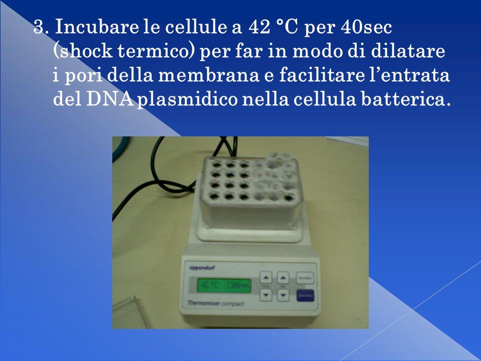 3. Incubare le cellule a 42 °C per 40sec (shock termico) per far in modo di dilatare i pori della membrana e facilitare l'entrata del DNA plasmidico nella cellula batterica.