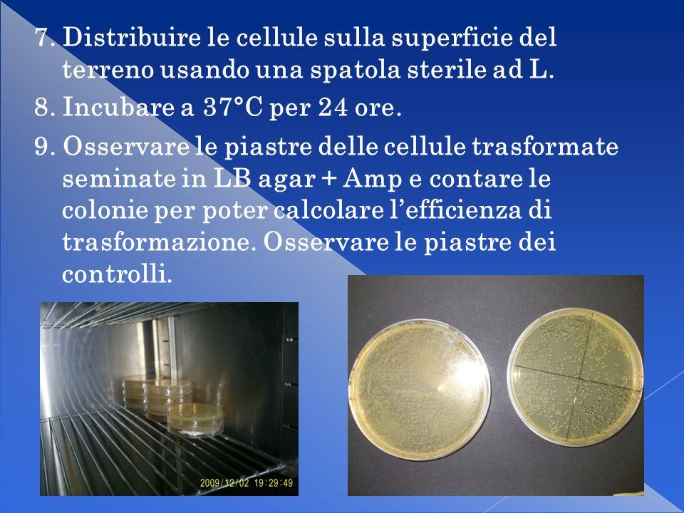 7. Distribuire le cellule sulla superficie del terreno usando una spatola sterile ad L.