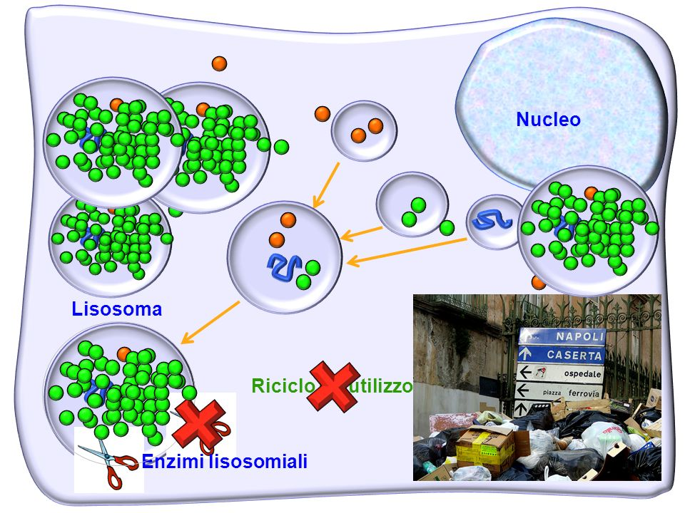 Nucleo Lisosoma Riciclo e riutilizzo Enzimi lisosomiali