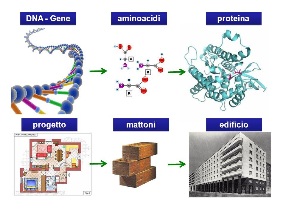 DNA - Gene aminoacidi proteina progetto mattoni edificio