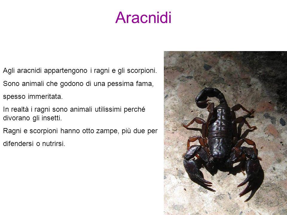 Aracnidi Agli aracnidi appartengono i ragni e gli scorpioni.