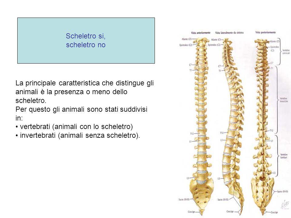 Scheletro si, scheletro no. La principale caratteristica che distingue gli animali è la presenza o meno dello scheletro.