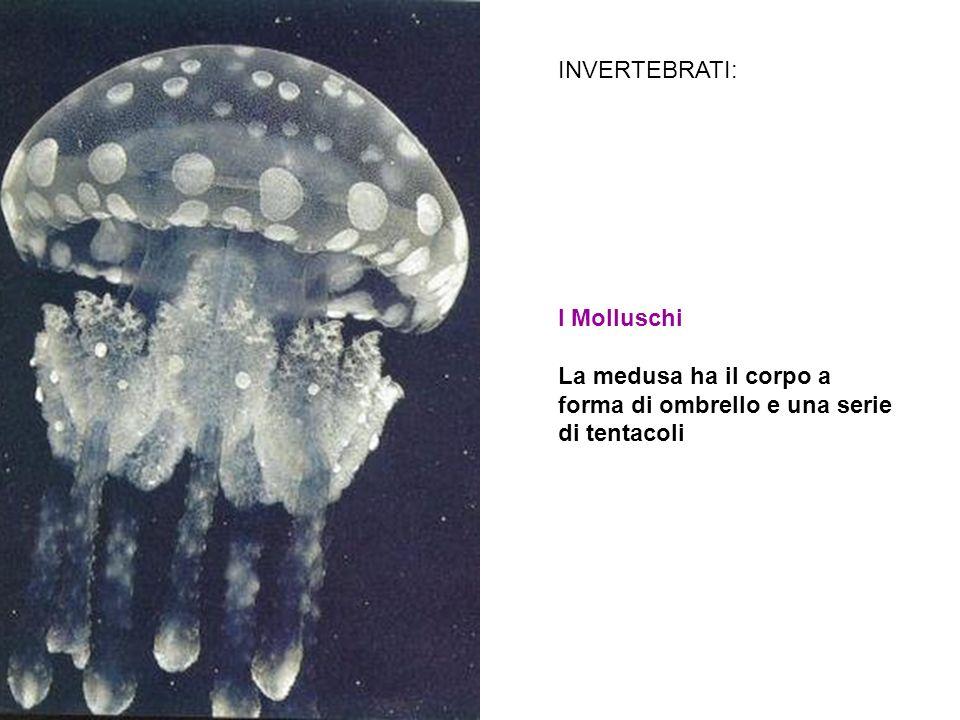 INVERTEBRATI: I Molluschi La medusa ha il corpo a forma di ombrello e una serie di tentacoli