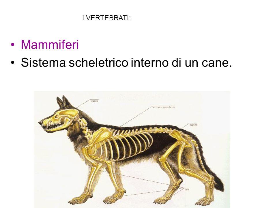 Sistema scheletrico interno di un cane.
