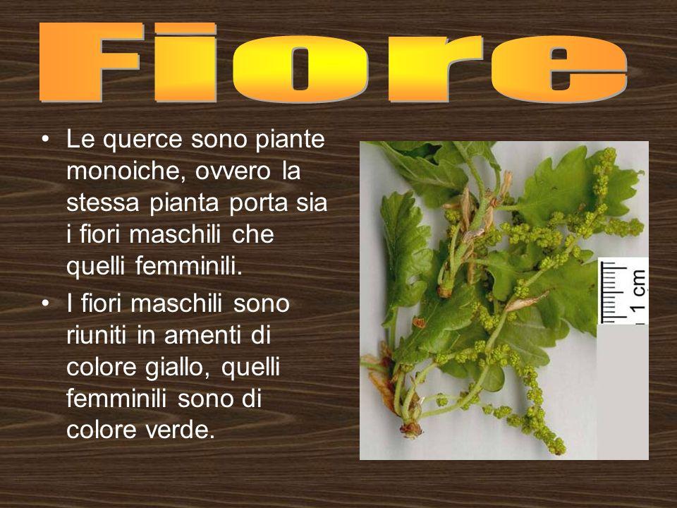 Fiore Le querce sono piante monoiche, ovvero la stessa pianta porta sia i fiori maschili che quelli femminili.