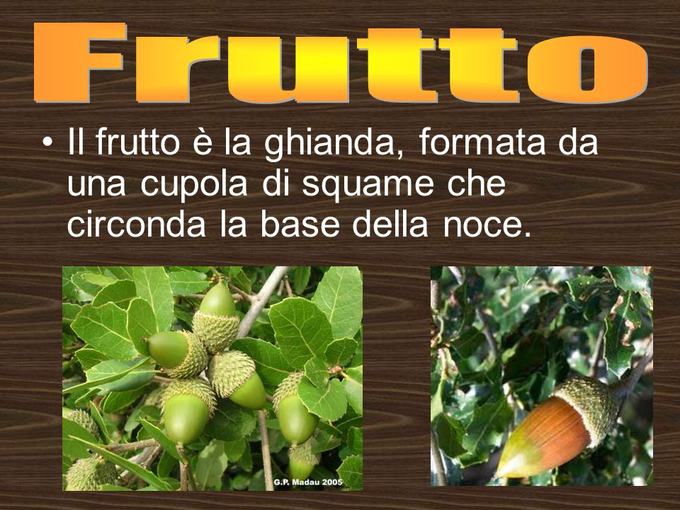 Frutto Il frutto è la ghianda, formata da una cupola di squame che circonda la base della noce.