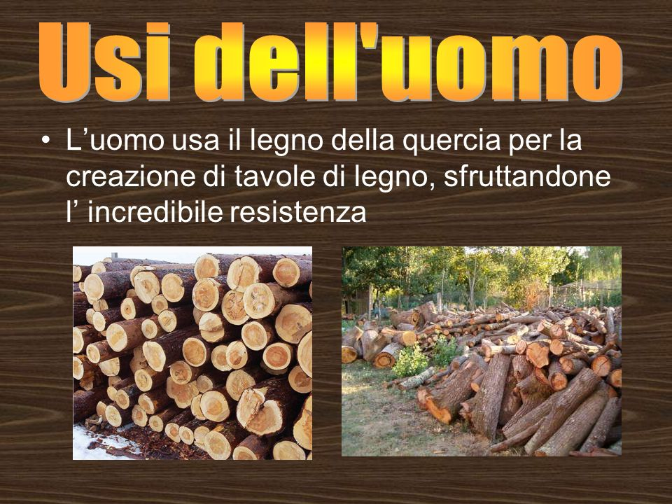 Usi dell uomo L'uomo usa il legno della quercia per la creazione di tavole di legno, sfruttandone l' incredibile resistenza.