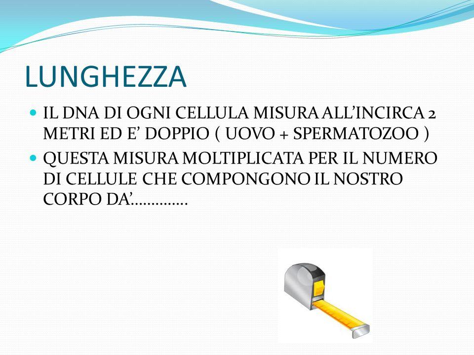 LUNGHEZZA IL DNA DI OGNI CELLULA MISURA ALL'INCIRCA 2 METRI ED E' DOPPIO ( UOVO + SPERMATOZOO )