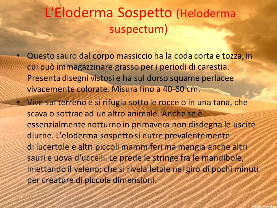L Eloderma Sospetto (Heloderma suspectum)