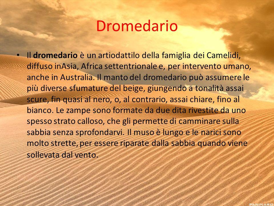 Dromedario