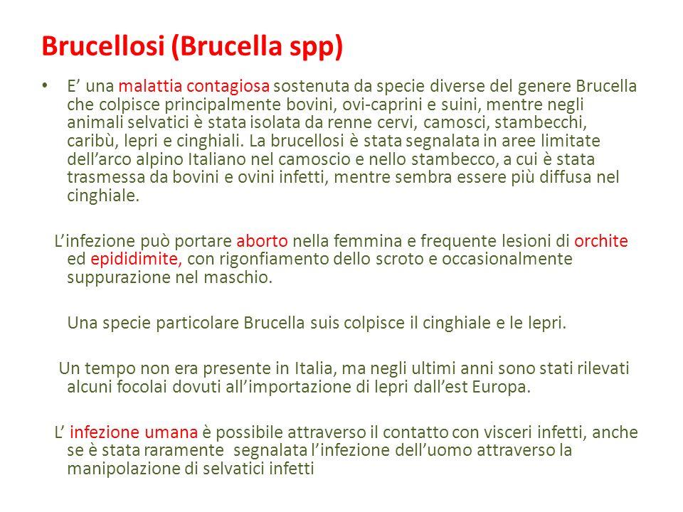 Brucellosi (Brucella spp)