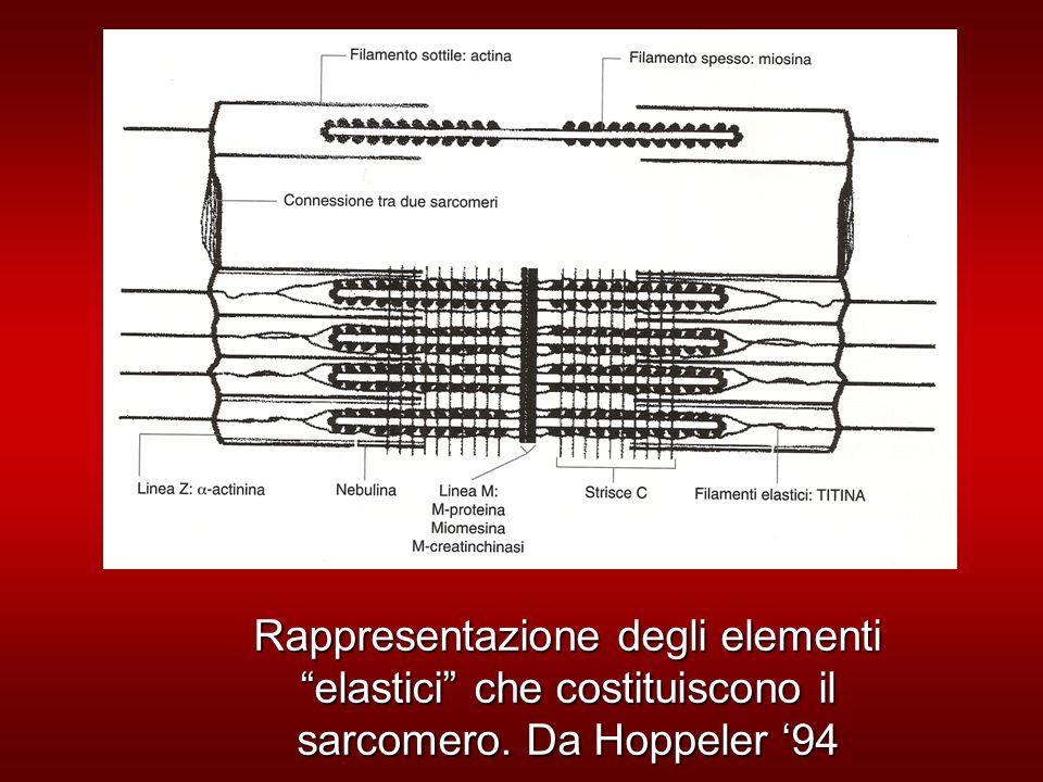 Rappresentazione degli elementi elastici che costituiscono il sarcomero. Da Hoppeler '94