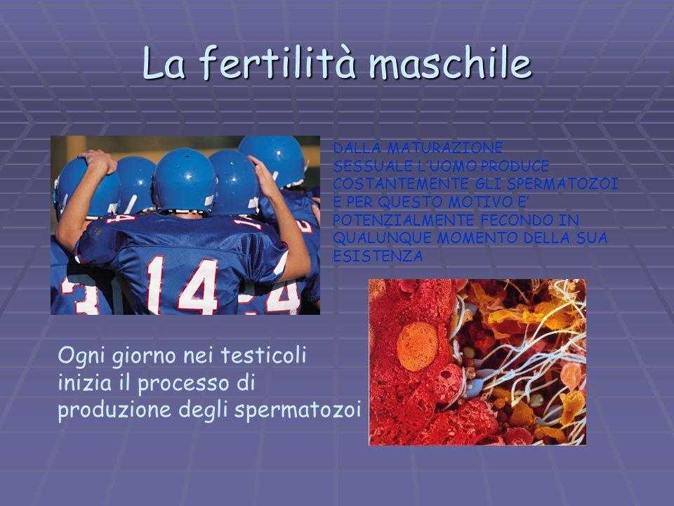 La fertilità maschile Ogni giorno nei testicoli inizia il processo di