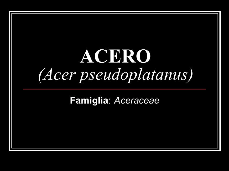 ACERO (Acer pseudoplatanus)