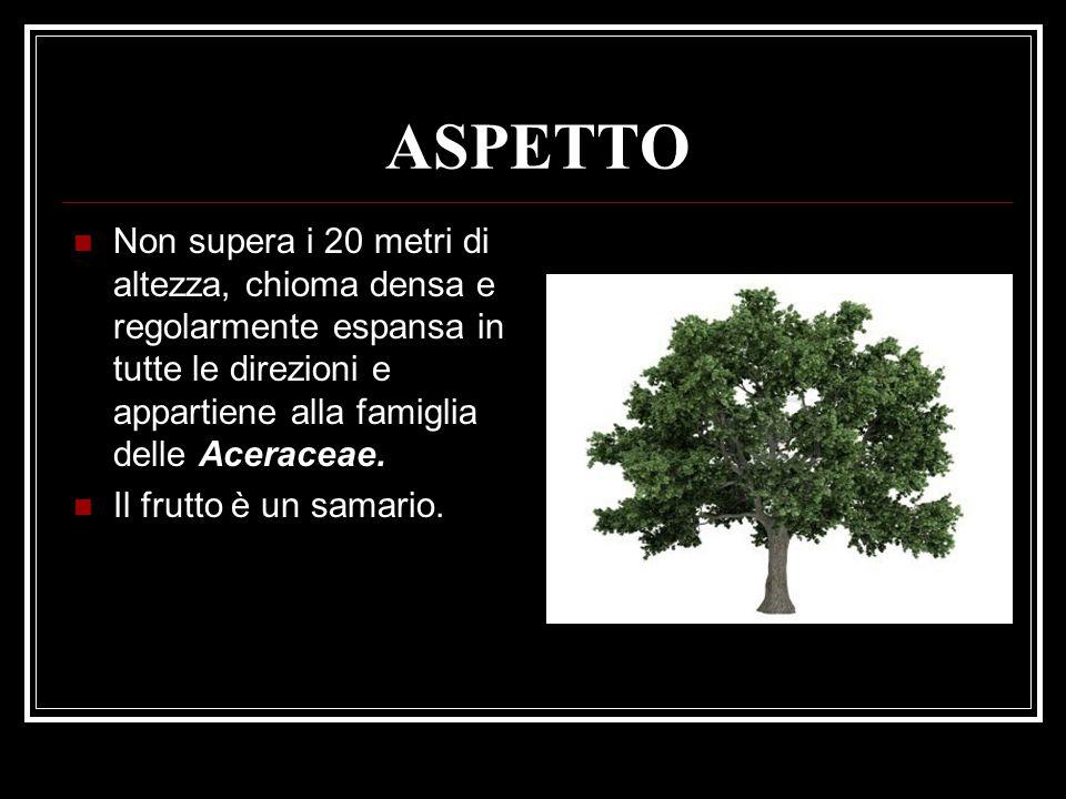 ASPETTO Non supera i 20 metri di altezza, chioma densa e regolarmente espansa in tutte le direzioni e appartiene alla famiglia delle Aceraceae.