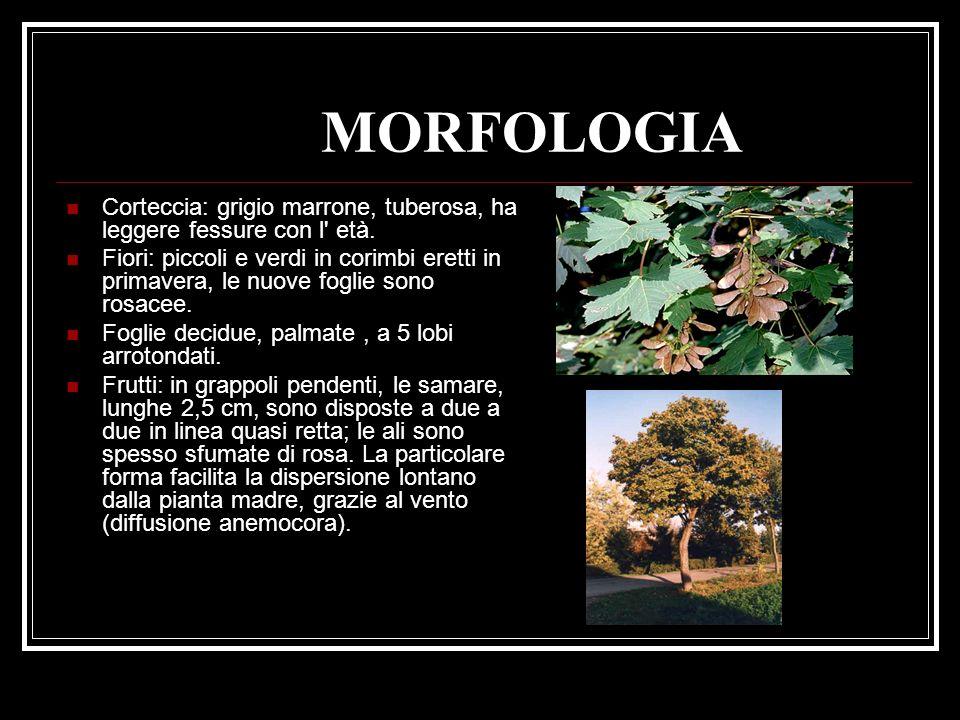 MORFOLOGIA Corteccia: grigio marrone, tuberosa, ha leggere fessure con l età.
