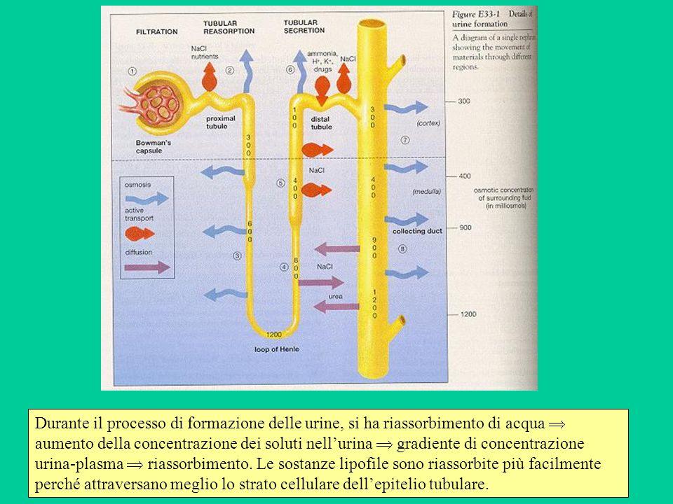 Durante il processo di formazione delle urine, si ha riassorbimento di acqua  aumento della concentrazione dei soluti nell'urina  gradiente di concentrazione urina-plasma  riassorbimento.
