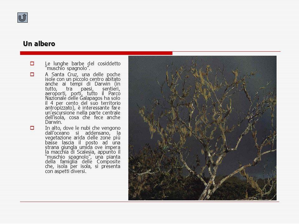 Un albero Le lunghe barbe del cosiddetto muschio spagnolo .