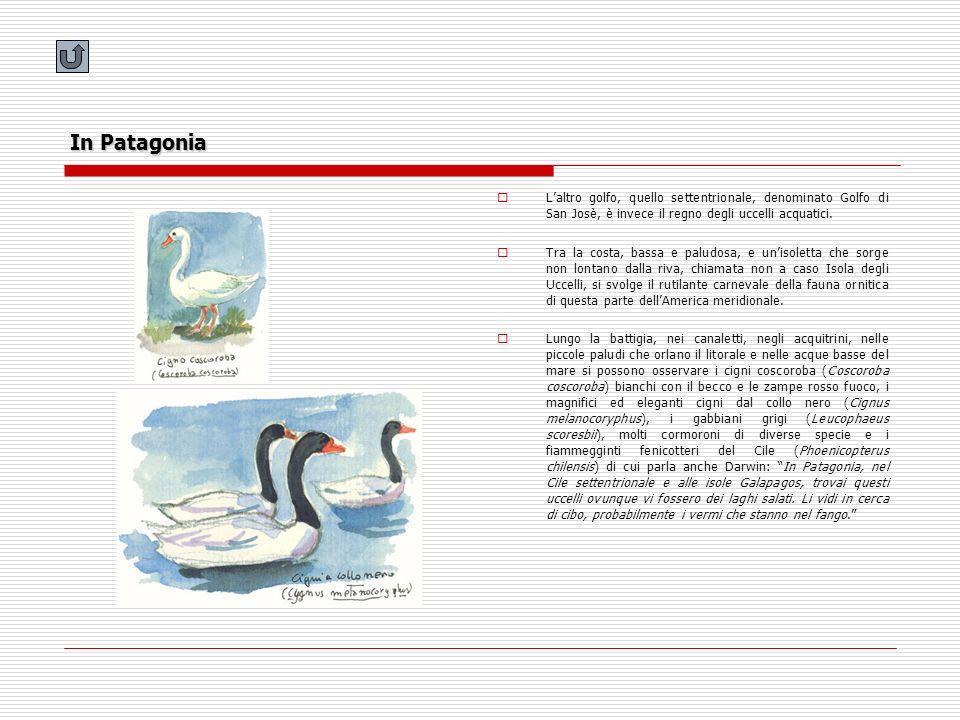 In Patagonia L'altro golfo, quello settentrionale, denominato Golfo di San Josè, è invece il regno degli uccelli acquatici.