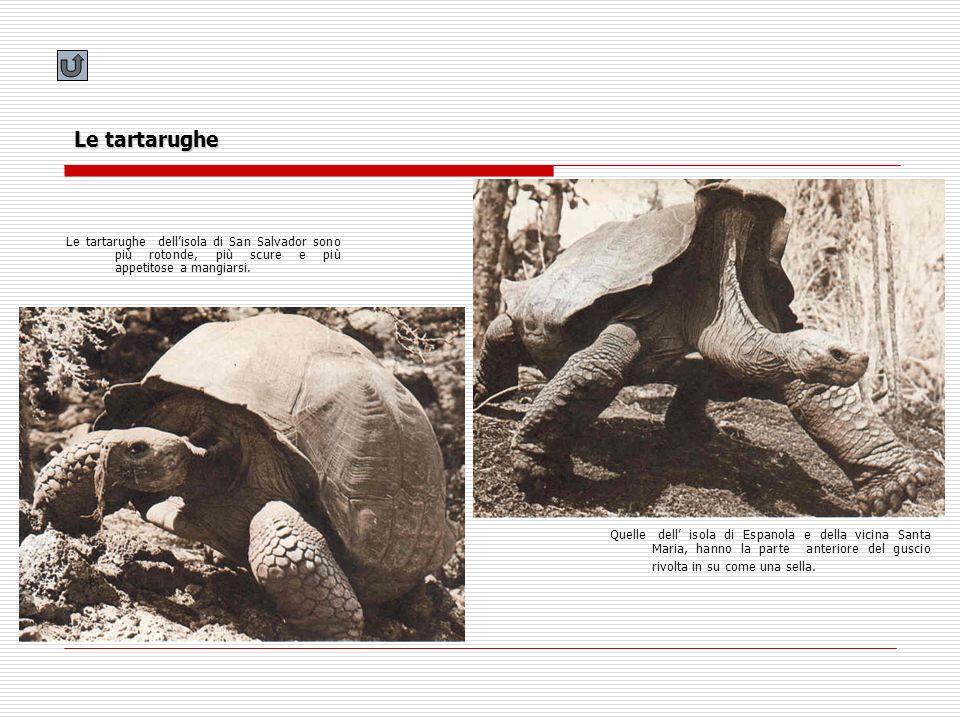 Le tartarughe Le tartarughe dell'isola di San Salvador sono più rotonde, più scure e più appetitose a mangiarsi.