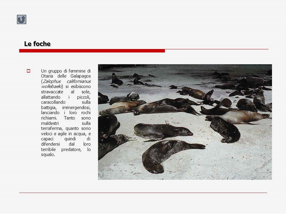 Le foche
