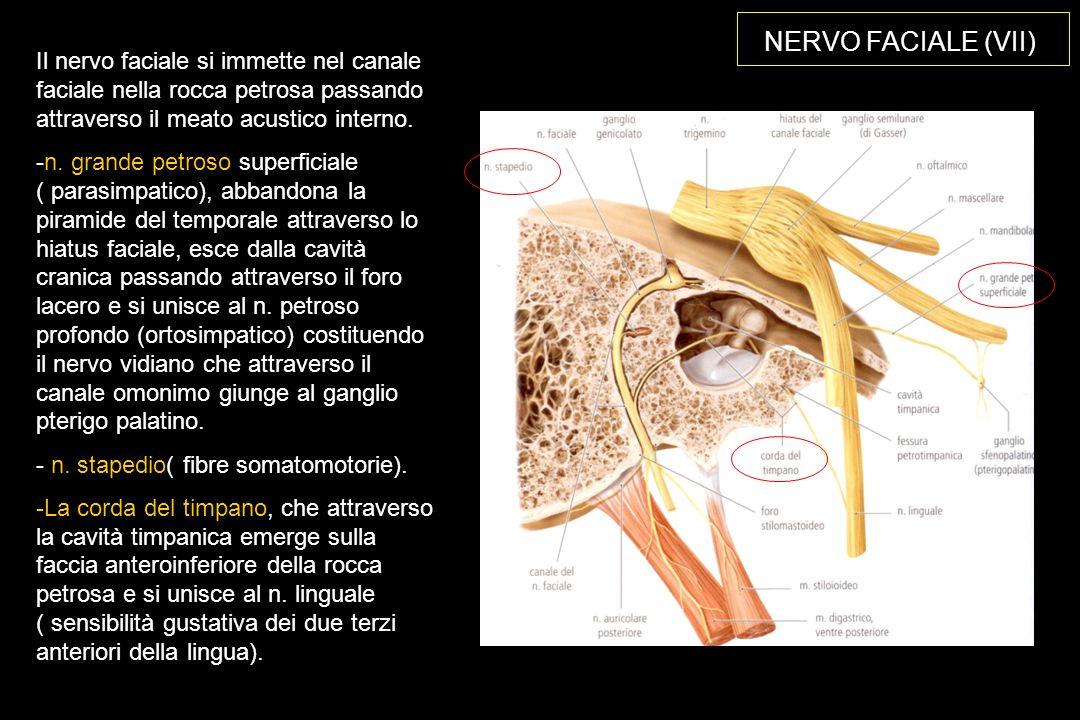 NERVO FACIALE (VII) Il nervo faciale si immette nel canale faciale nella rocca petrosa passando attraverso il meato acustico interno.