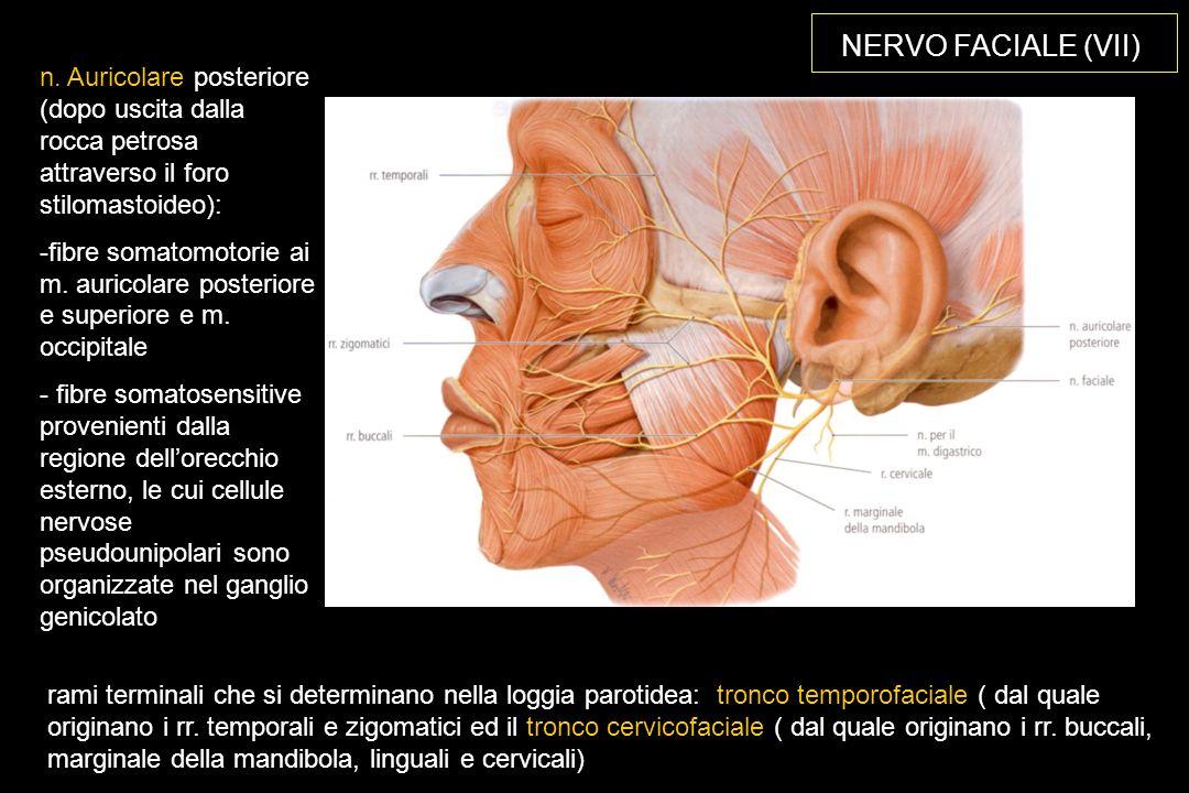 NERVO FACIALE (VII) n. Auricolare posteriore (dopo uscita dalla rocca petrosa attraverso il foro stilomastoideo):