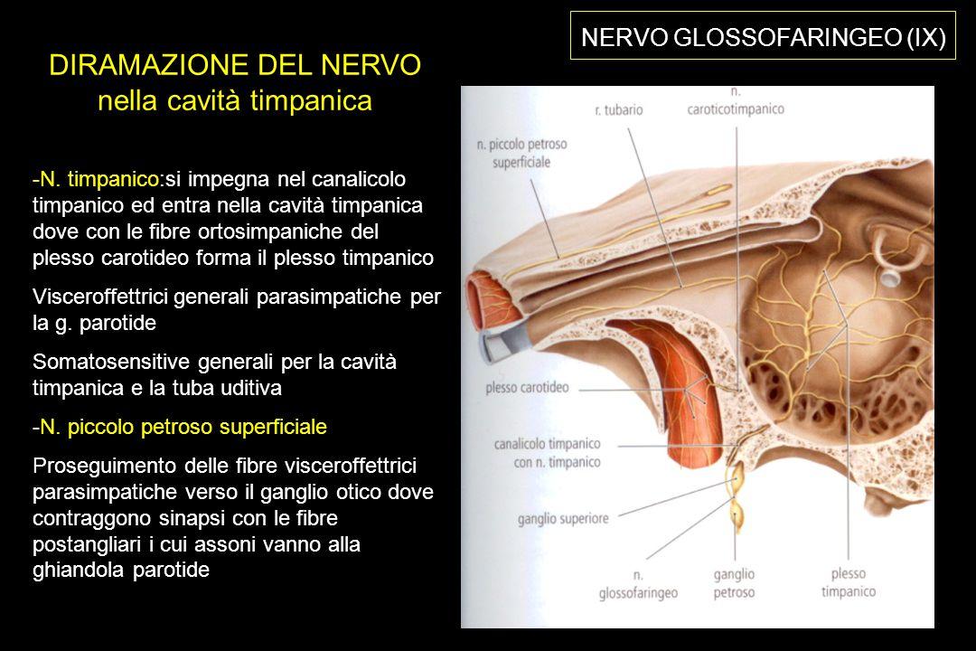 DIRAMAZIONE DEL NERVO nella cavità timpanica