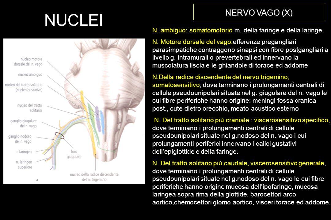 NERVO VAGO (X) NUCLEI. N. ambiguo: somatomotorio m. della faringe e della laringe.