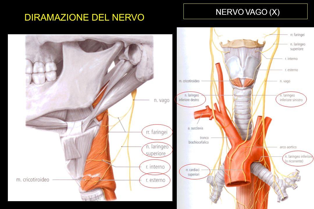 NERVO VAGO (X) DIRAMAZIONE DEL NERVO