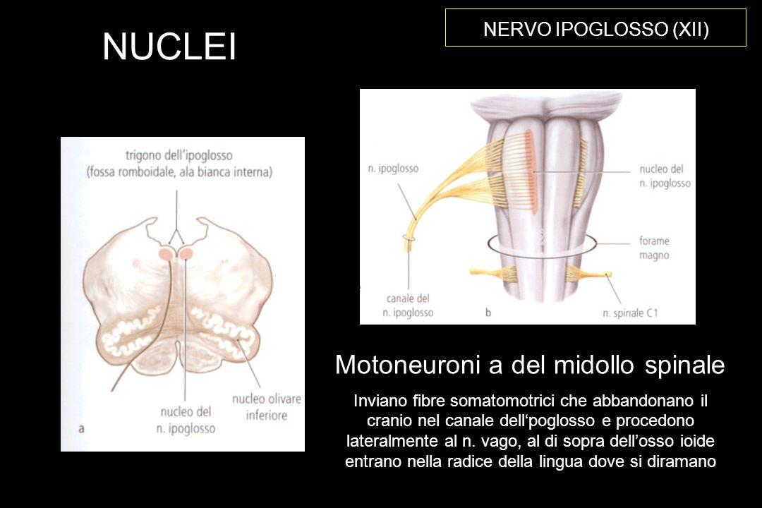 Motoneuroni a del midollo spinale
