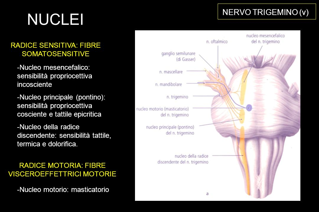 NUCLEI NERVO TRIGEMINO (v) RADICE SENSITIVA: FIBRE SOMATOSENSITIVE