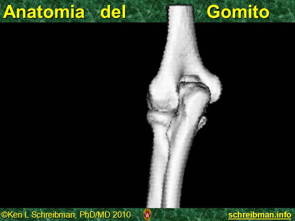 Anatomia del Gomito