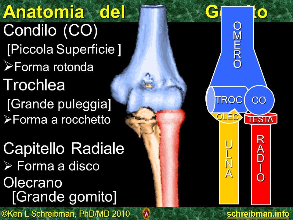 Anatomia del Gomito Condilo (CO) Trochlea Capitello Radiale