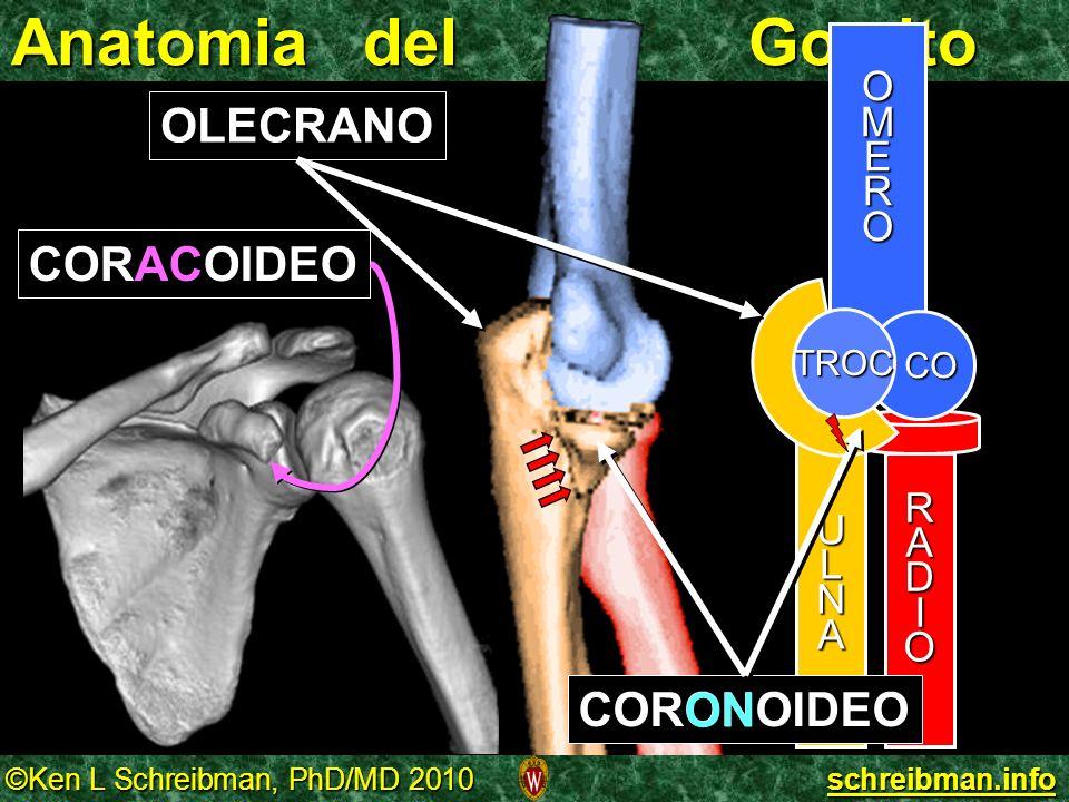 Anatomia del Gomito OLECRANO CORACOIDEO CORONOIDEO ON O M E R U L A N