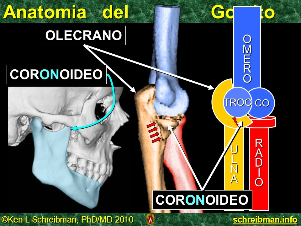 Anatomia del Gomito OLECRANO CORONOIDEO CORONOIDEO ON O M E R U L A N