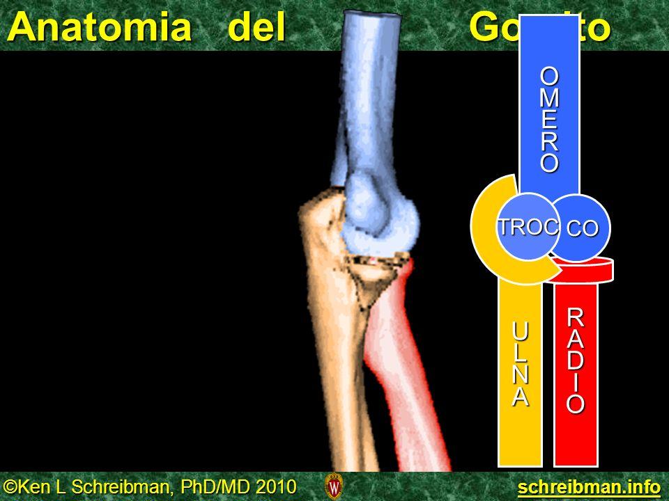Anatomia del Gomito O M E R A D I CO U L N TROC
