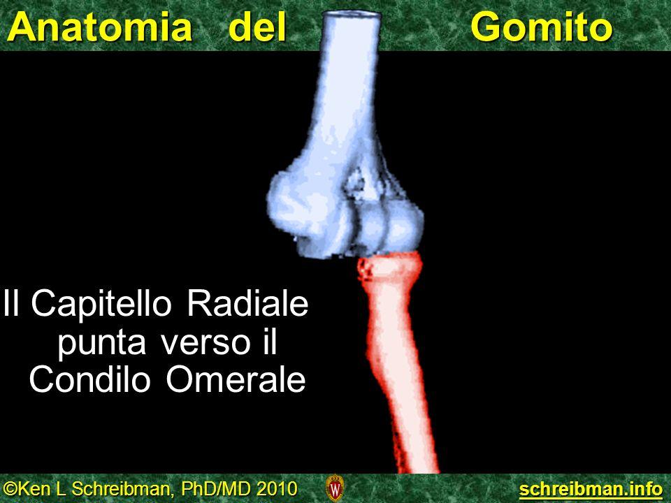 Anatomia del Gomito Il Capitello Radiale punta verso il