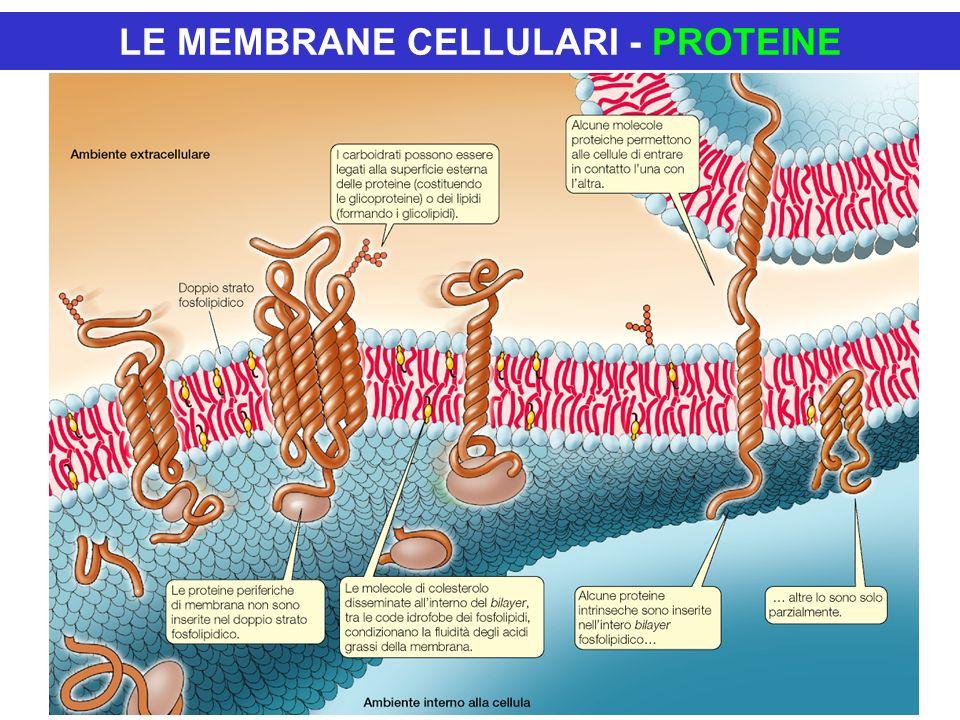 LE MEMBRANE CELLULARI - PROTEINE